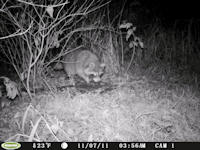 Coon eating guts